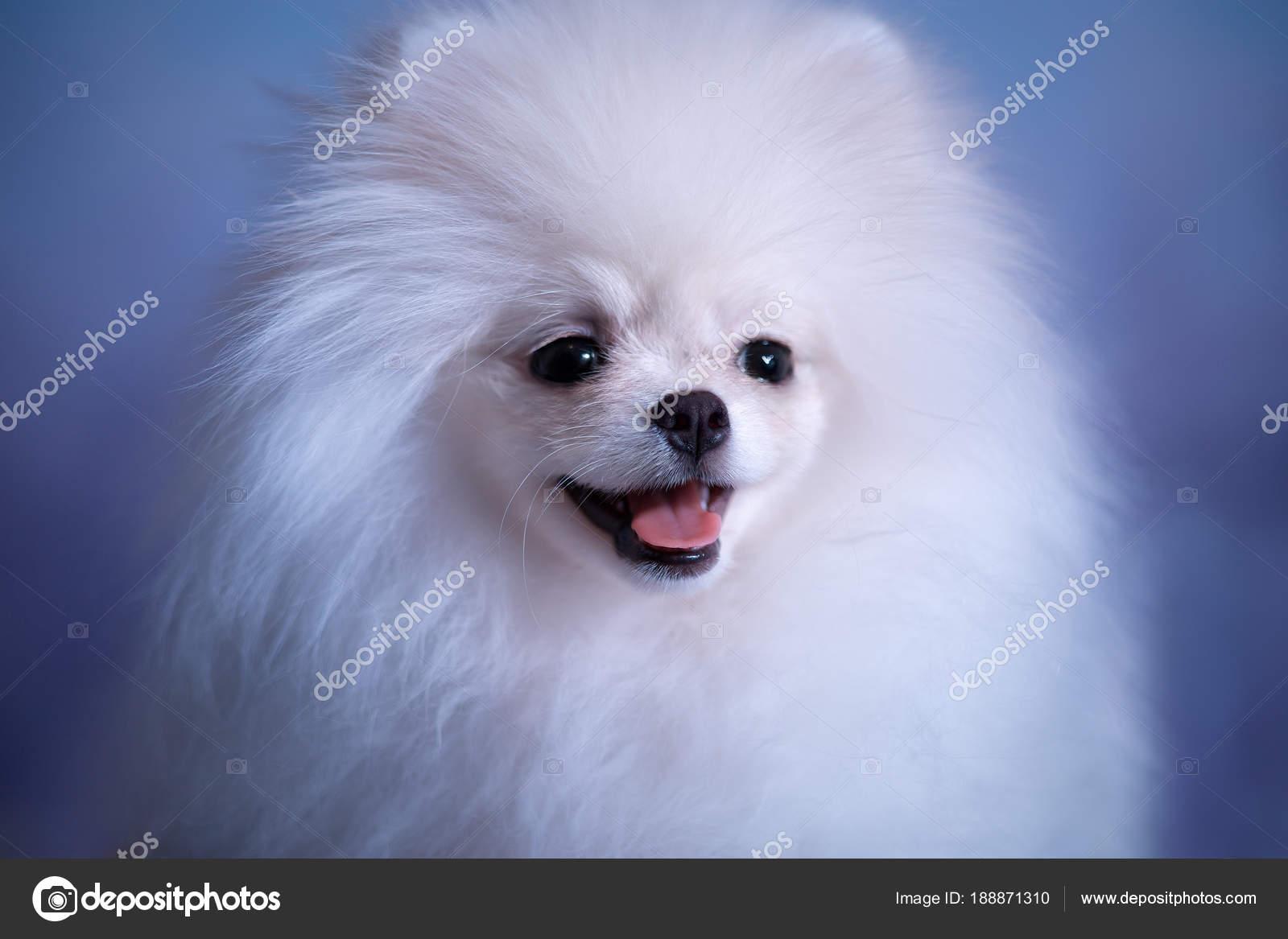 Cute White Fluffy Puppy Stock Photo C Fotolit2 188871310