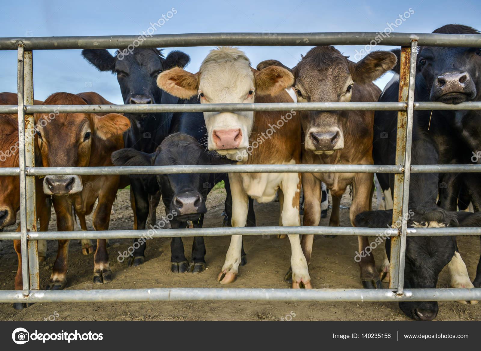 Vieh hinter einem Zaun — Stockfoto © itsajoop #140235156
