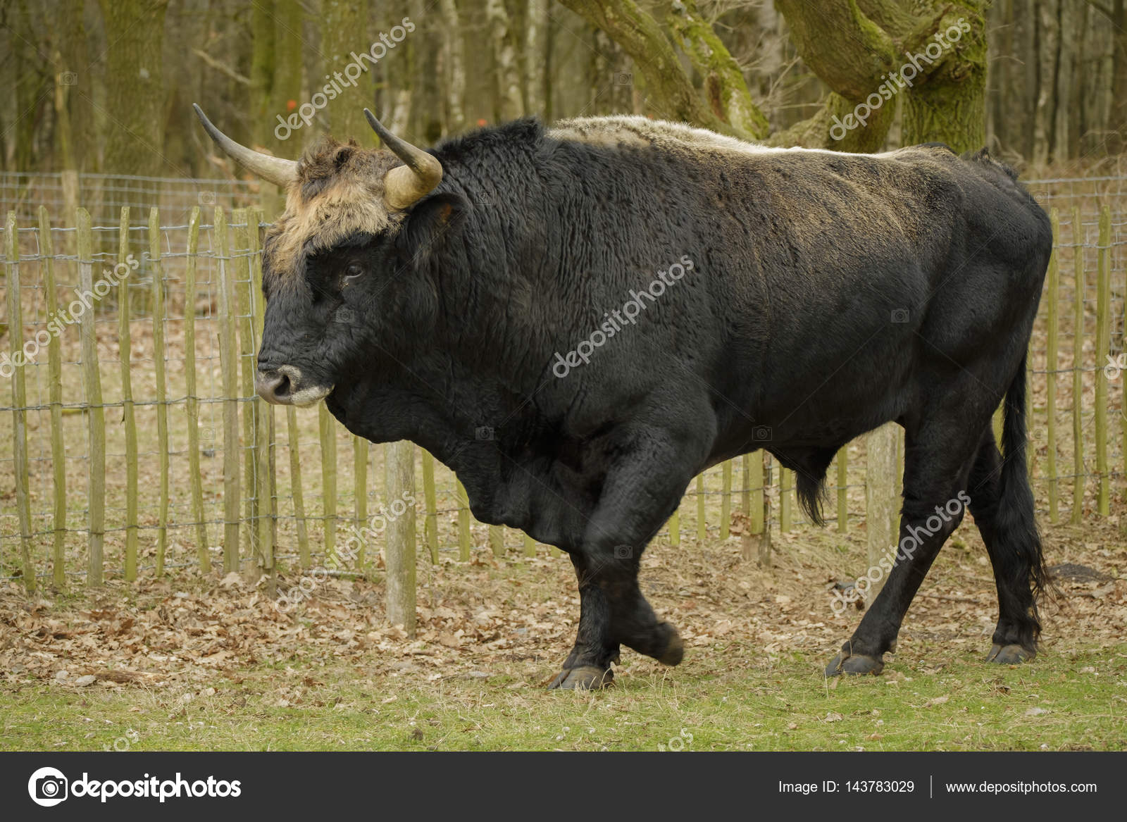 aurochs animal bos primigenius stock photo itsajoop 143783029