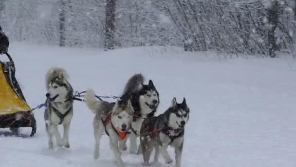 Husky race outdoors in winter.