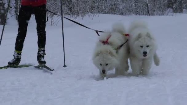 samara, russland - 6. januar 2017: hundeschlittenrennen auf schneebedeckter straße im winter.