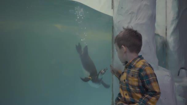 A kisfiú átnéz az üvegen az oceanáriumban az úszópingvineken.