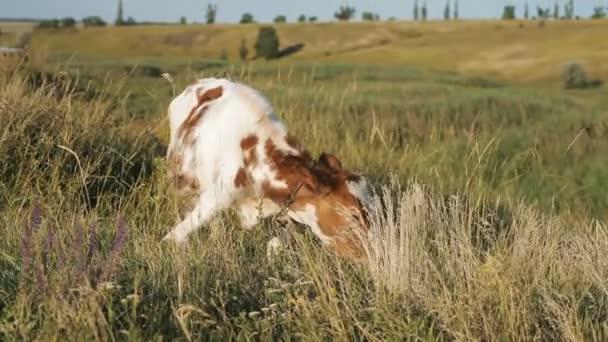 kráva pasoucí se v čerstvé pastviny