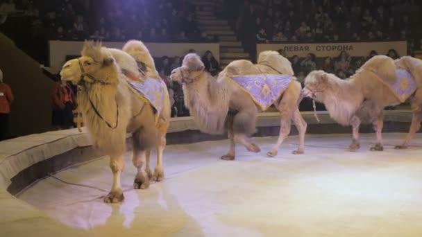 Vystoupení velbloudů na Cirkusové výstavě