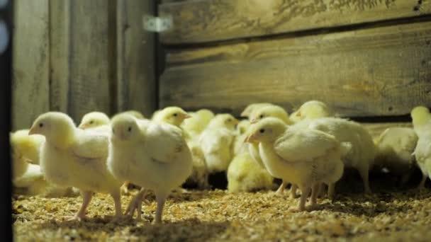 brojleři kuřata na drůbeží farmě