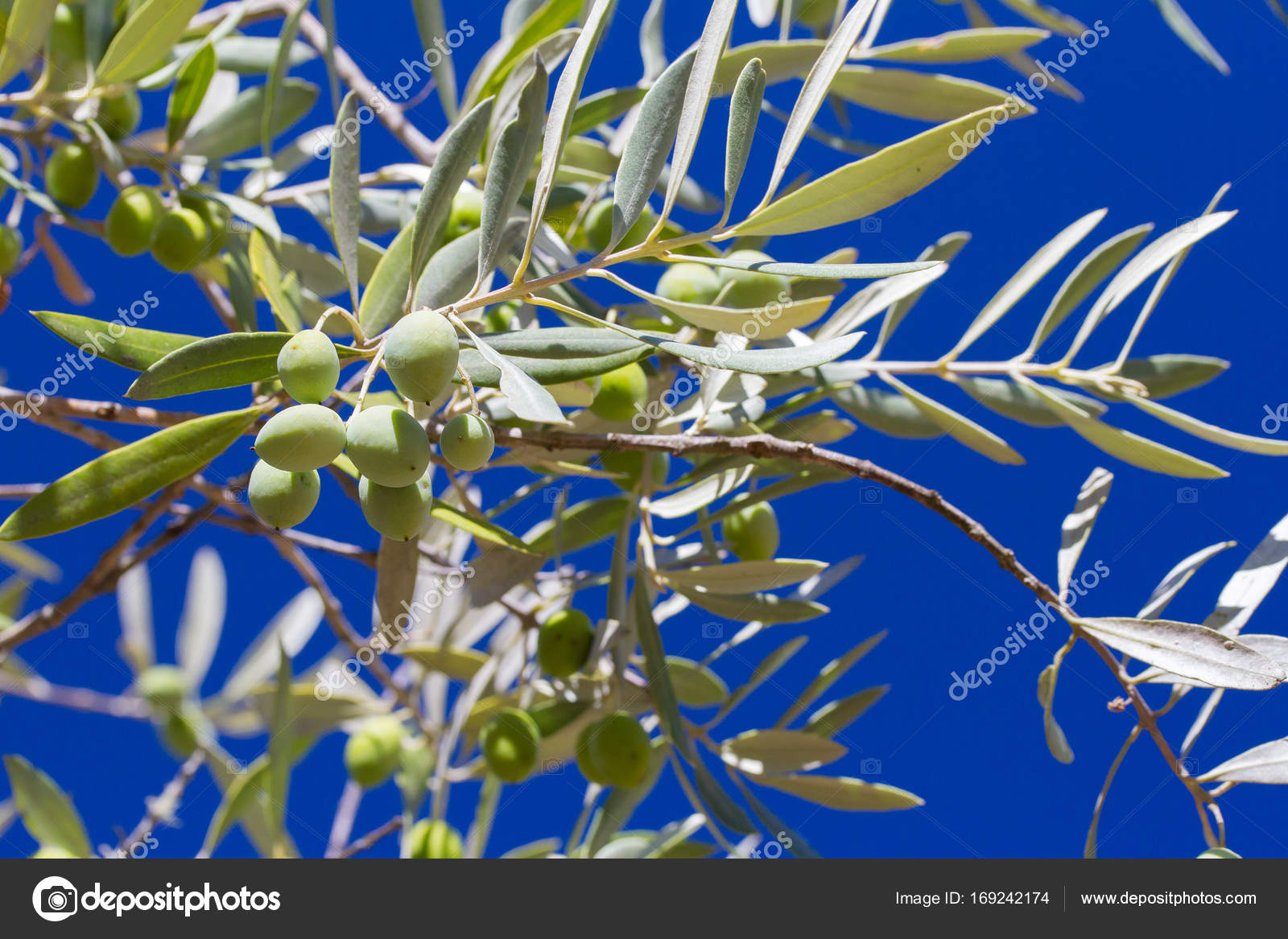 Olives on olive tree with blue sky stock photo nataliamylova olives on olive tree with blue sky stock photo izmirmasajfo
