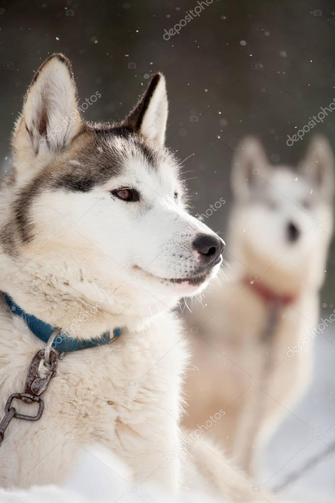 siberian Huskies resting