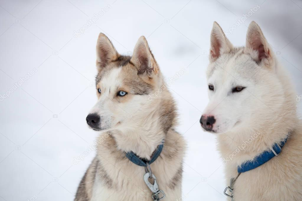 Siberian Huskies before sled ride