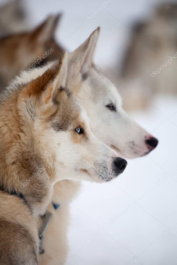 Siberian Huskies outdoors