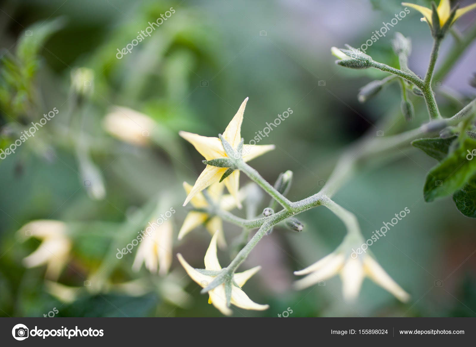Tomato Plant With Flowers Stock Photo Molka 155898024