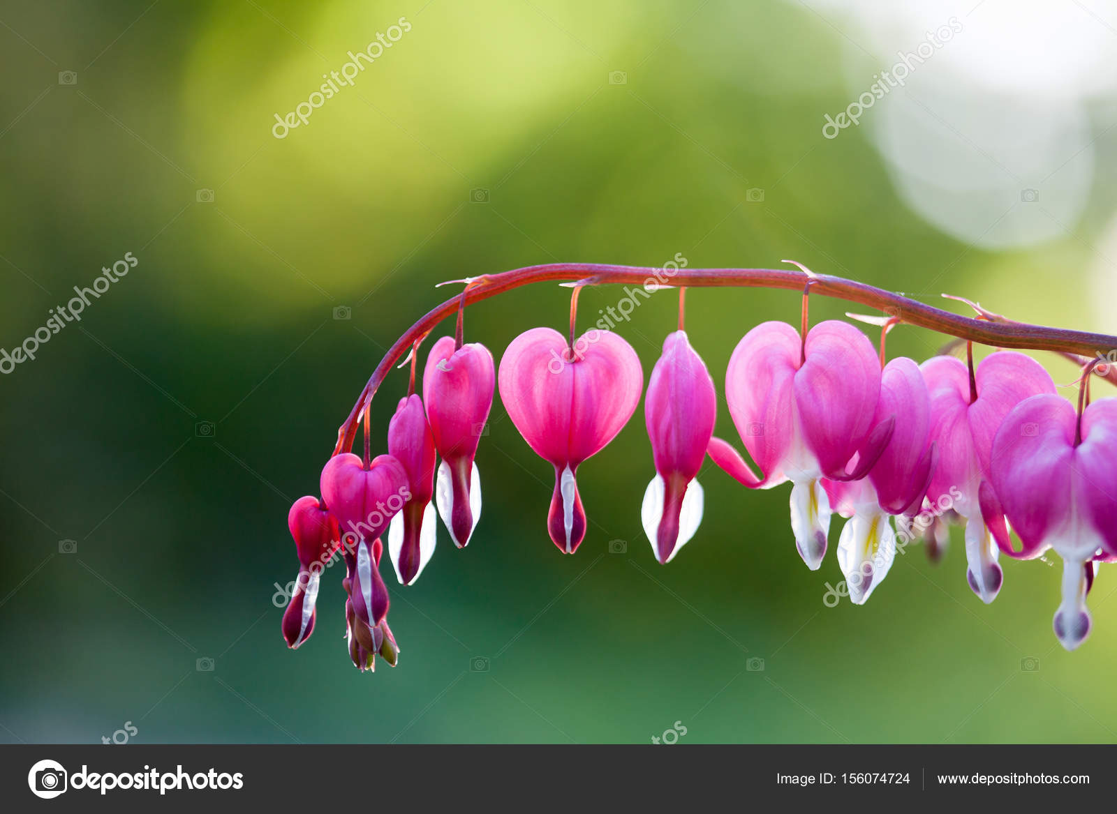 Pink Bleeding Heart Flower Stock Photo Molka 156074724