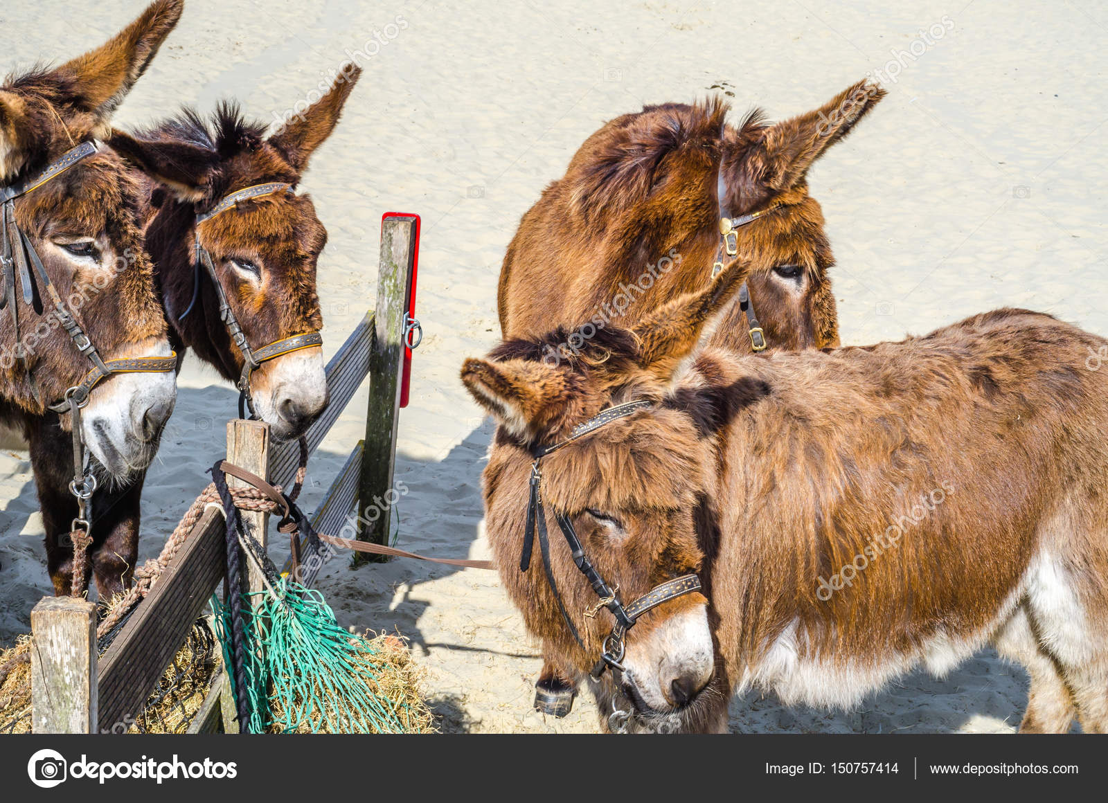 Four gorgeous domesticated es, es in a harness strapped to ...