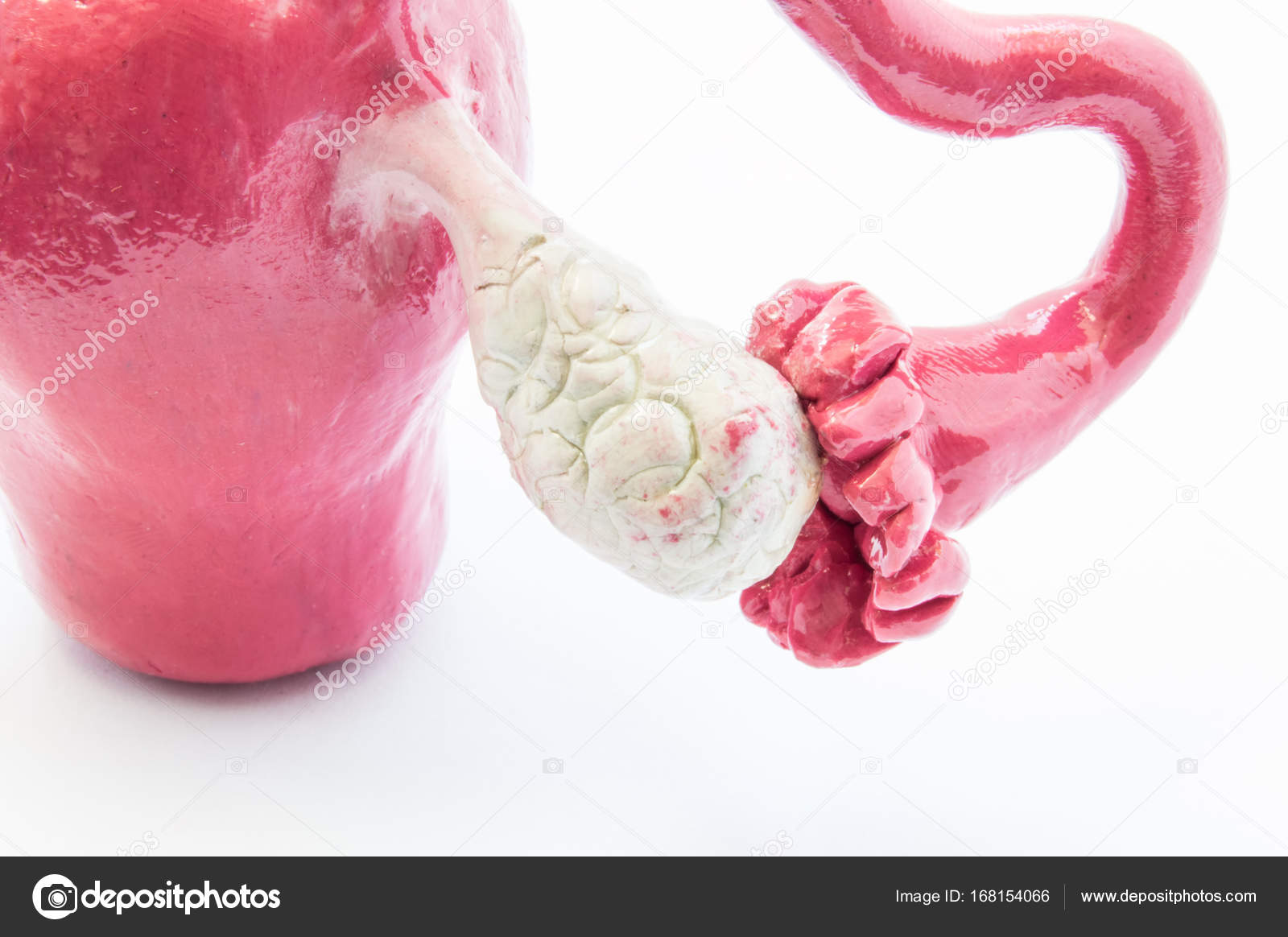 Anatomical 3d Model Of The Ovaries Fallopian Tube And Uterus Close