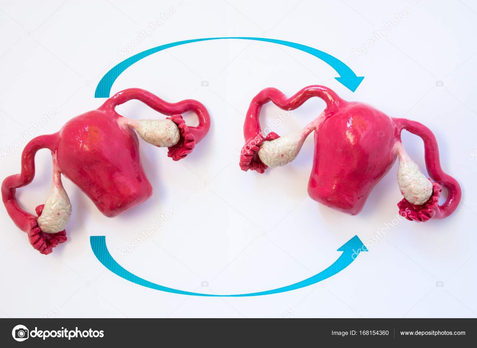 Foto de concepto de trasplante de útero. Dos modelos anatómicos del ...