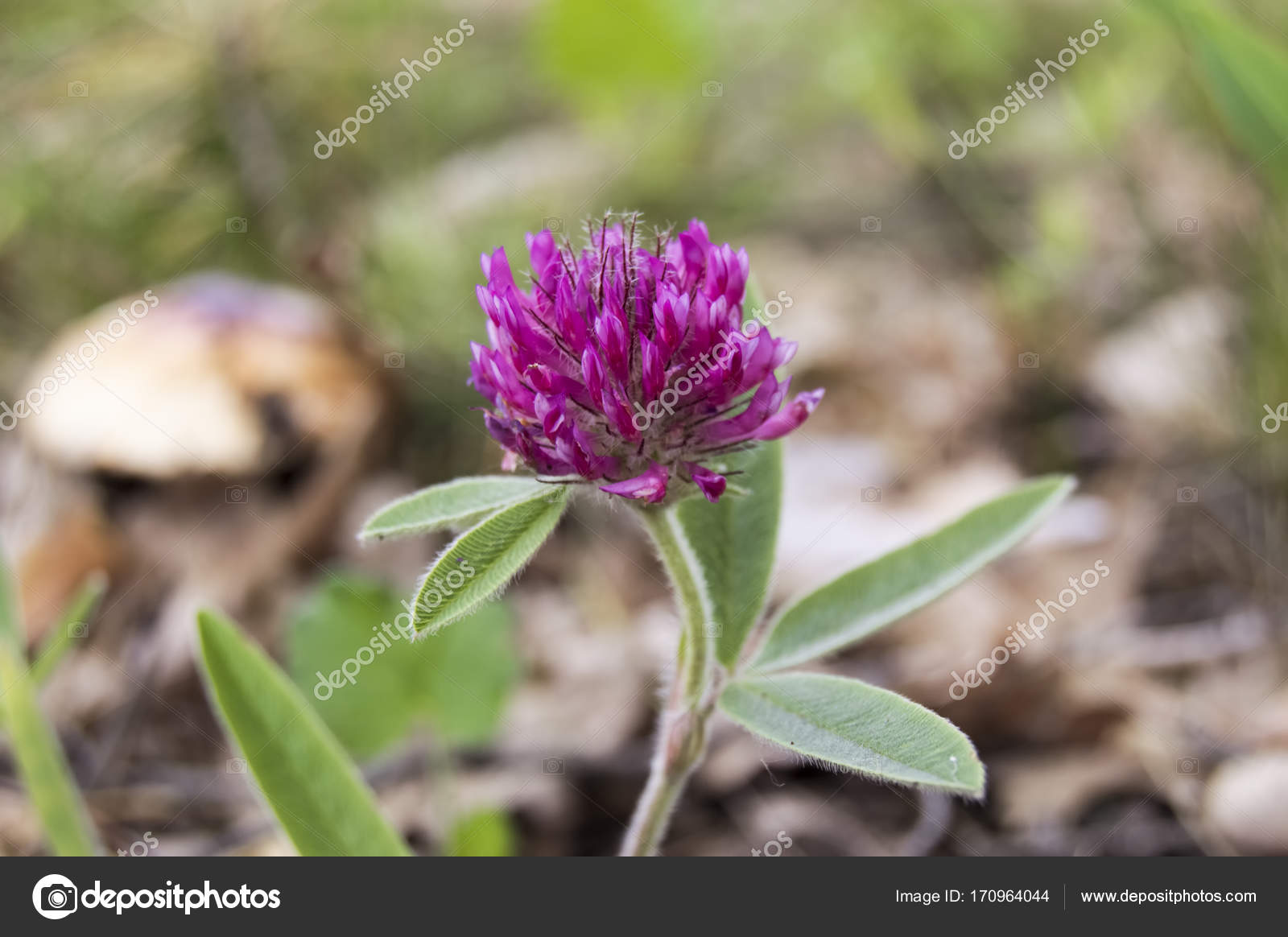 Fleurs De Trefle Rouge Dans La Foret En Toile De Fond Un Champignon