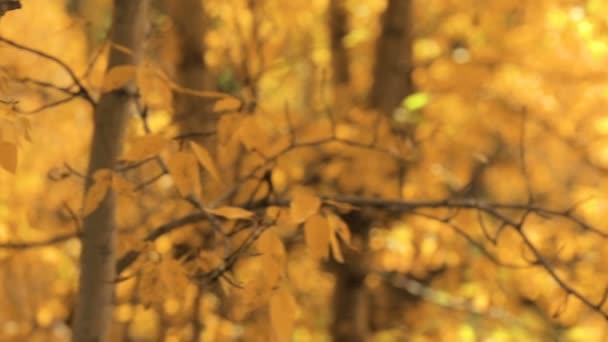 Zblízka osik zlaté listí na podzim