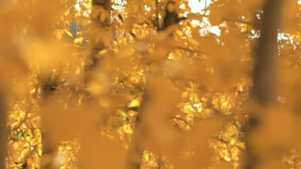Close up of aspens gold leaves in the Autumn.