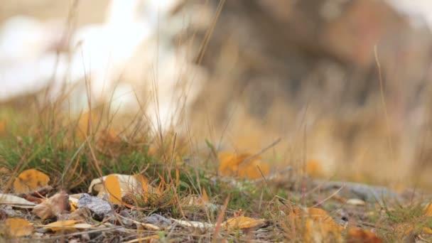 aspen žluté listy na lesní půdě