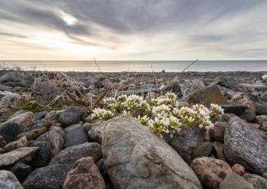 Common Scurvygrass, Cochlearia officinalis, on the pebble shore in the island of Jomfruland in Jomfruland National Park, Kragero, Norway
