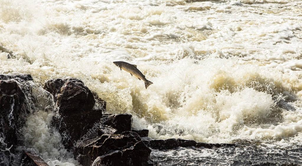 Atlantic Salmon, Salmo salar, leaping in turbulent waterfalls in Kristiansand, Norway