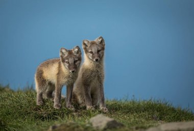 Arctic fox two cubs standing on grass with blue sky above, Svalbard