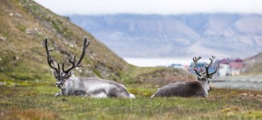 two reindeer resting at night in front of Longyearbyen, Svalbard, Arctic