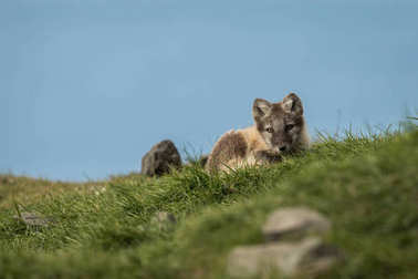 Curious arctic fox cub looking into camera Svalbard