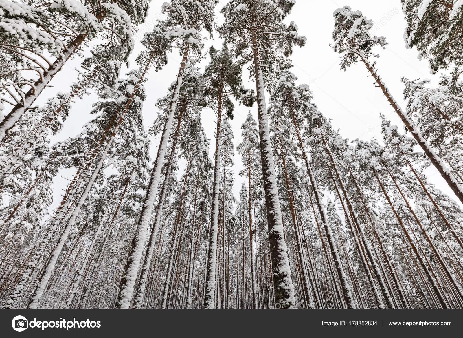 schneebedeckte skandinavischen pinienwald mit kiefer baum stielen pinus sylvestris stockfoto. Black Bedroom Furniture Sets. Home Design Ideas