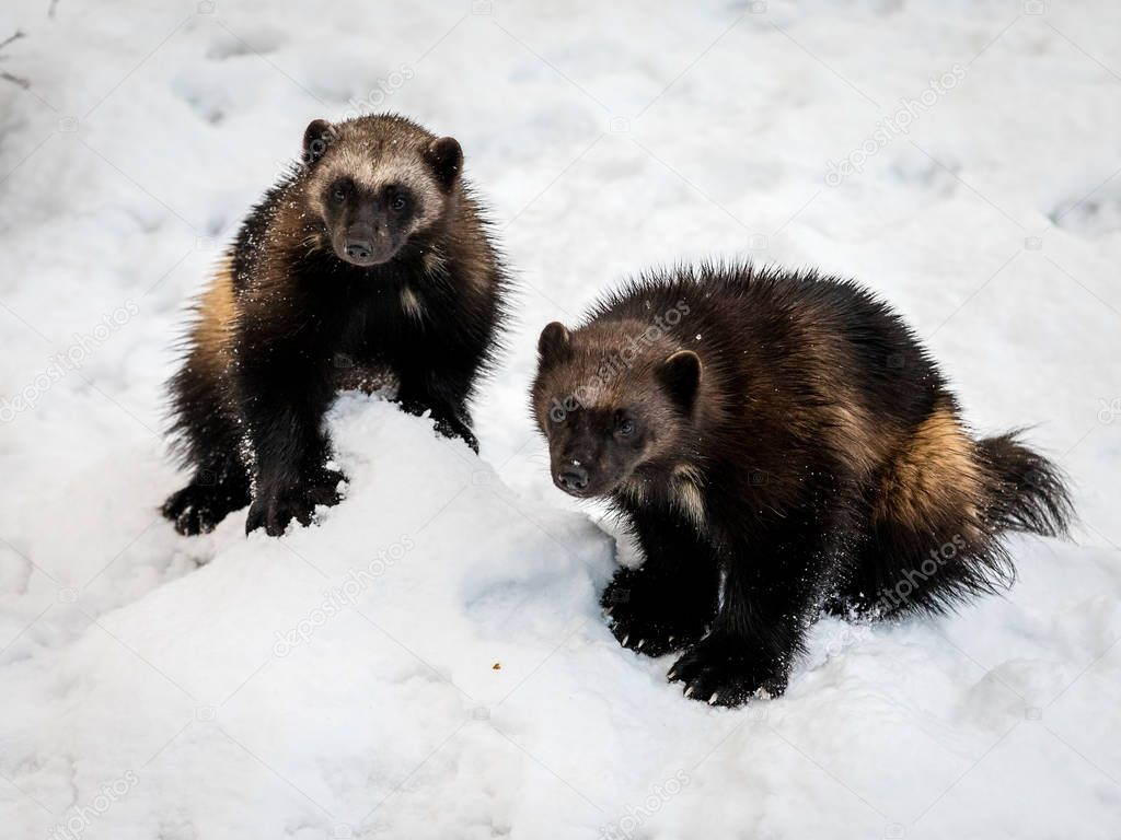 Two wolverines, gulo gulo, with snow and white background