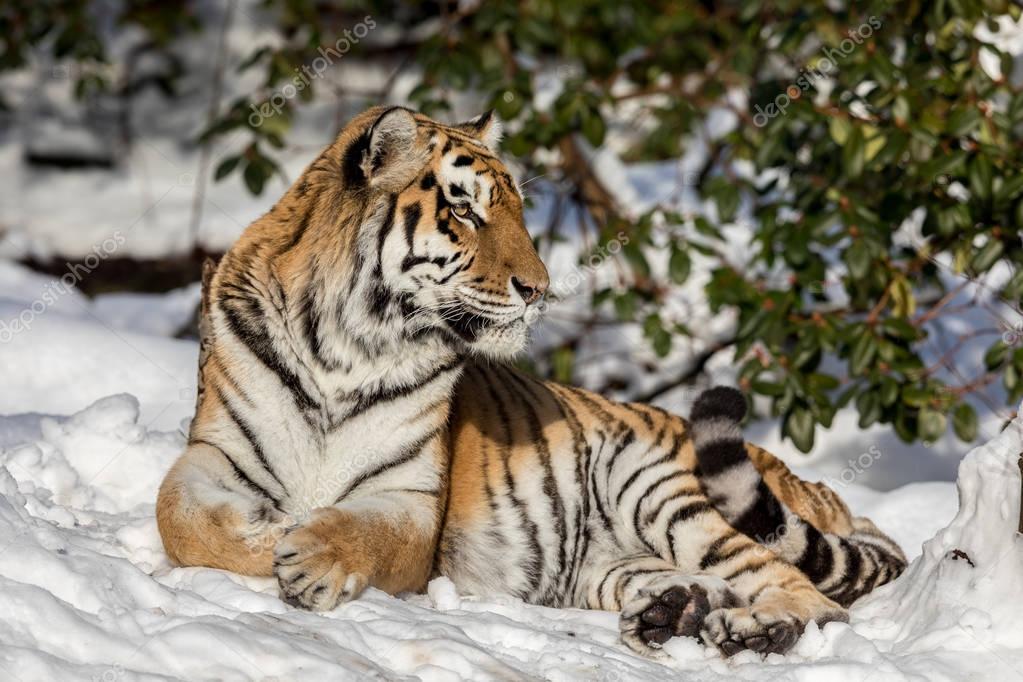 シベリアトラ、アムールトラ、森の雪の中で休憩します。カメラを目線. — ストック画像