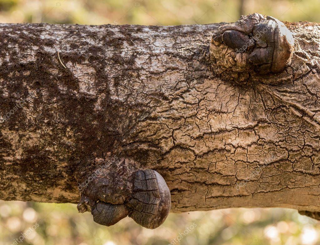 phellinus tremulae un champignon polypore parasitaires qui poussent sur le tronc d un arbre. Black Bedroom Furniture Sets. Home Design Ideas