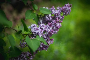 Lilac blooms. A beautiful bunch of lilac closeup. Lilac Flowering. Lilac Bush Bloom. Lilac flowers in the garden.
