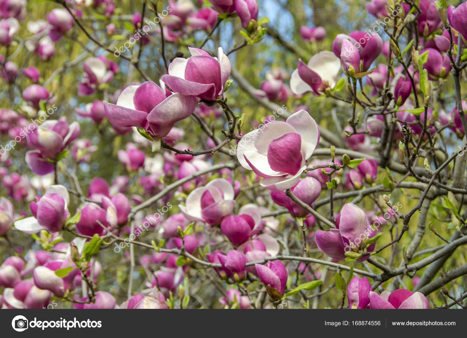 Magnolia Tree Bloom Flowers Stock Photo Jovep305gmail