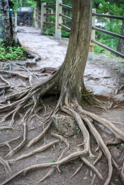closeup of tree roots on hiking path in Minnesota State Park