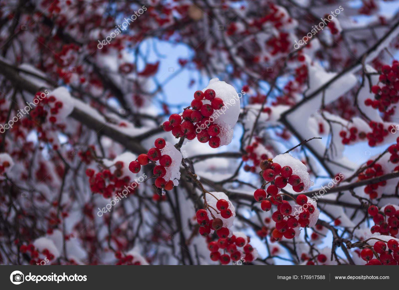 Rowan Tree Mountain Ash Red Berries