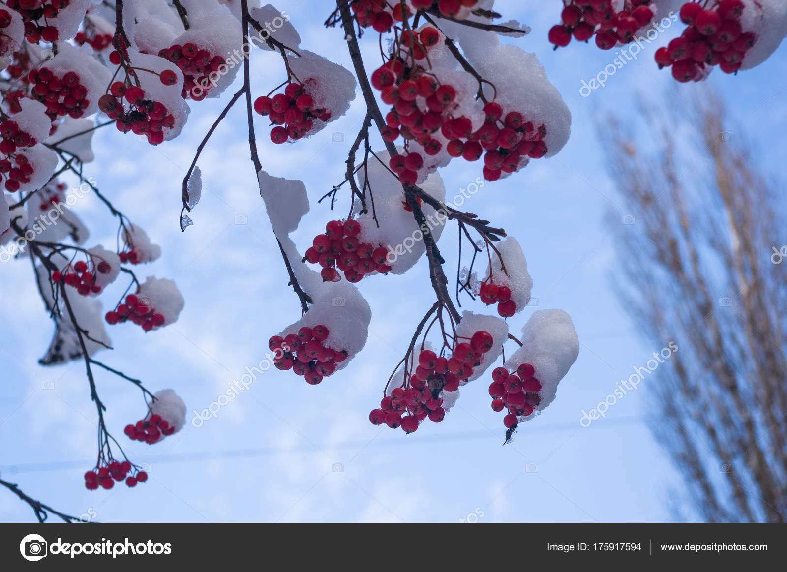 Rowan Tree Mountain Ash Red Berries Snow Close Winter Wallpapers — Stock Photo