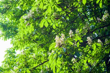 Flowering branches of chestnut Castanea sativa tree, and bright blue sky