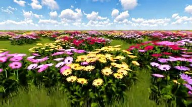 African Daisies shaking and quivering on a breeze