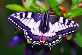 Vlaštovka motýl v květinách, Papilio machaon