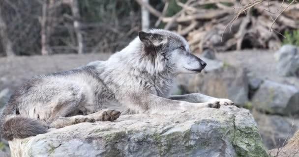 Dřevo vlky vytí a pokládání na slunci