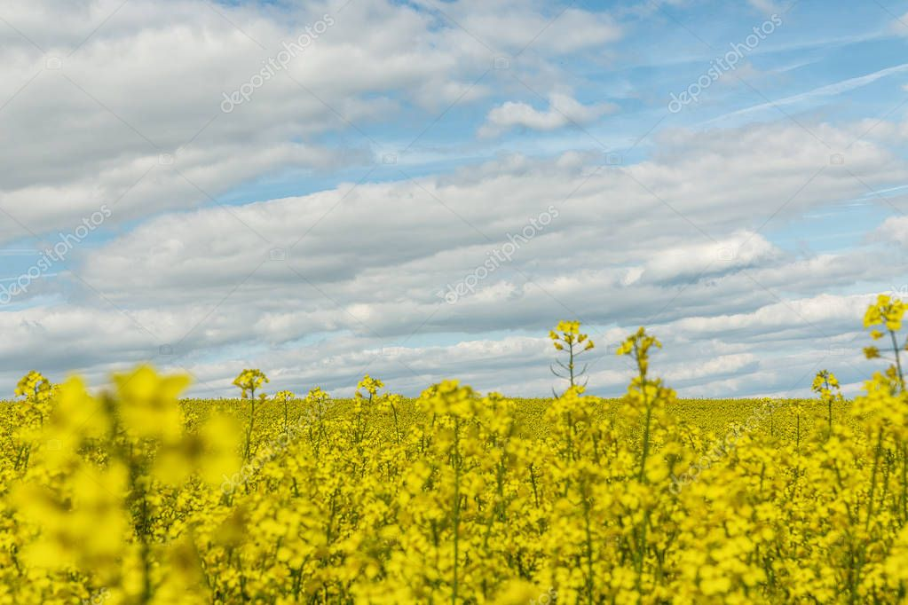 Large field planted with yellow raps plant and blue sky