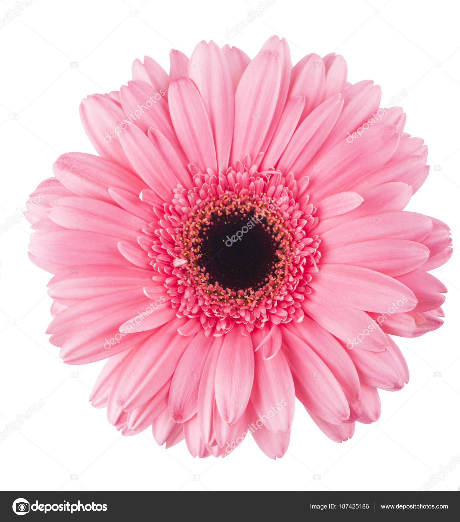 Pink Gerbera Flower Isolated On White Stock Photo Aprilphoto