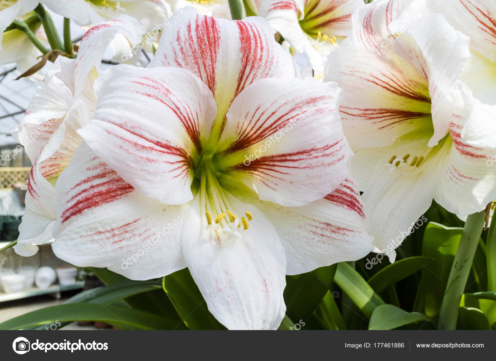 Large Trumpet White Touch Pink Amaryllis Flowers Stock Photo