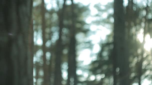 Borový les, západ slunce na jarní den