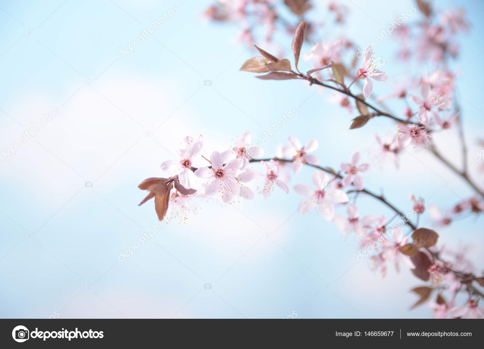 Branch With Pink Flowers Against The Blue Sky And White Clouds
