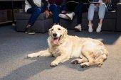 Arany-Vizsla kutya