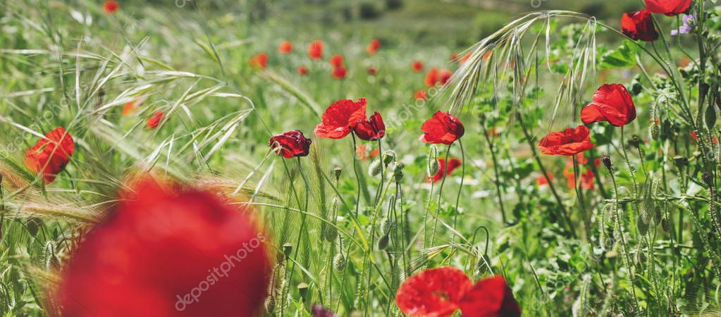 Close up view red poppies flowers and green cones on background nature field.