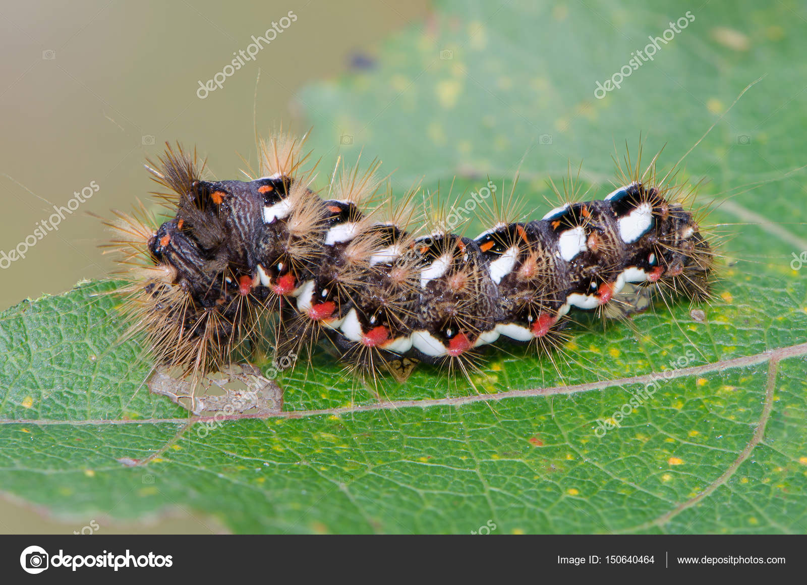 гусеница волосатая с красно синими точками