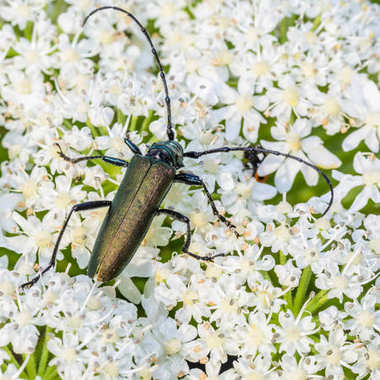 Very large beetle with long mustaches sits on the inflorescence