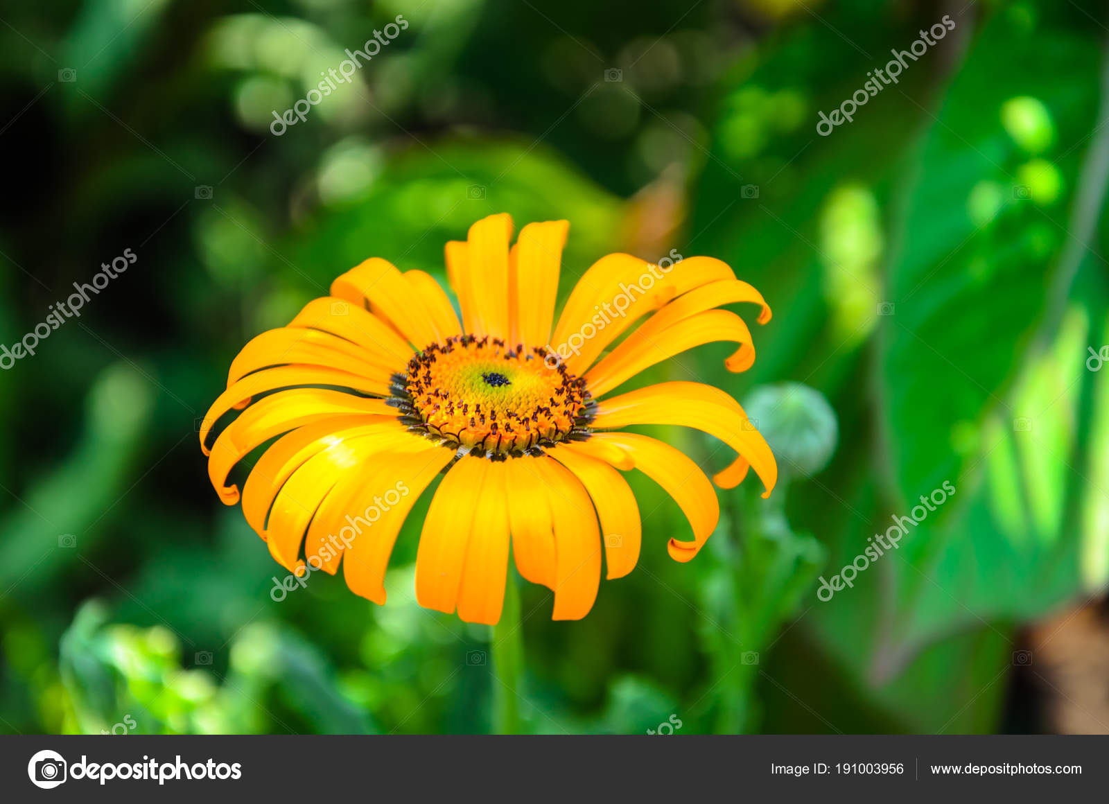 In the picture an orange flower with thin petals stock photo in the picture an orange flower with thin petals stock photo mightylinksfo